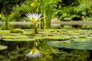 池の中に咲くスイレン