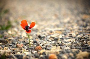 砂利の中に咲くワイルドフラワー