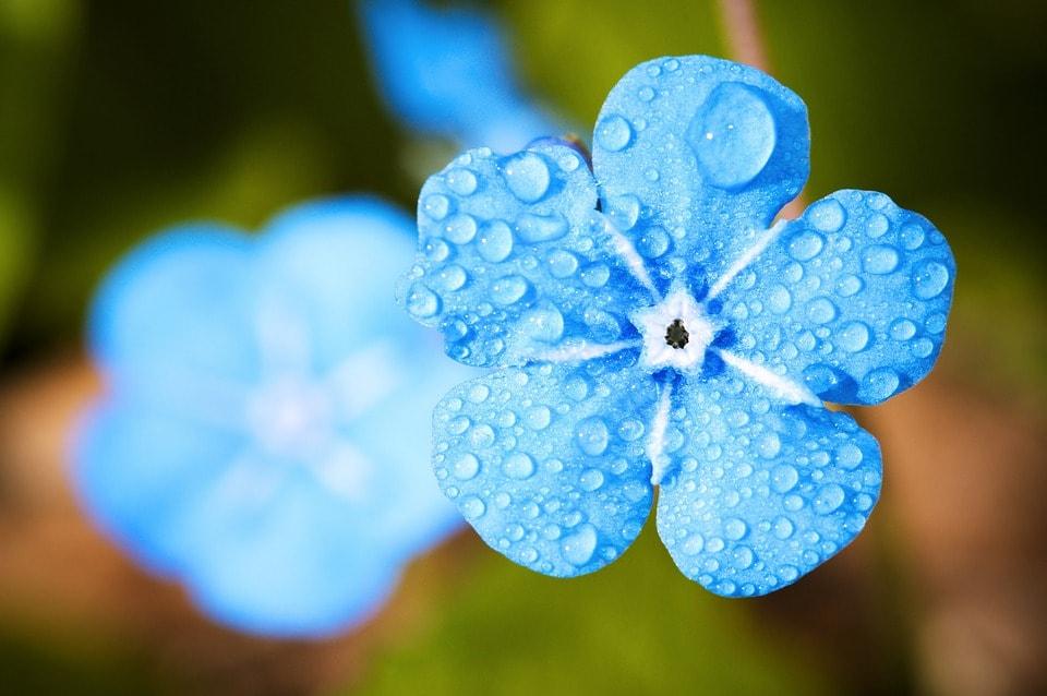 水滴のついた青い花