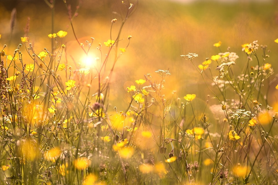 黄色の花畑