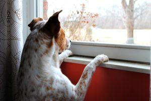 ご主人さまを窓辺で待つ犬